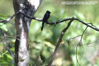 Lesser Racket-tailed Drongo - Dicrurus remifer