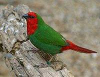 * Red Faced Parrot Finch