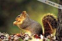 Northern Fox Squirrel (Sciurus niger) photo
