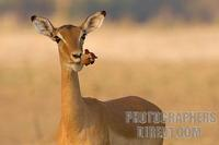Impala doe eating a sausage tree flower stock photo