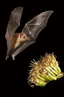 ...Mexican Long-tongued Bat ( Choeronycteris mexicana ) Flying near agave plant ( Agave sp . ) Amad