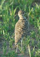 Two-banded Courser p.122