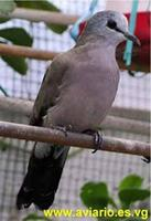 Black-billed Wood Dove Turtur abyssinicus