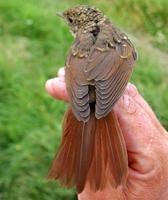 Thrush Nightingale (Luscinia luscinia), 1K
