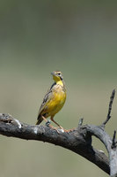 : Macronyx croceus; Yellow Throated Longclaw