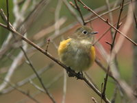 Erithacus cyanurus Red-franked Bluetail ルリビタキ