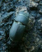 Dorcus parallelipipedus - Lesser stag beetle