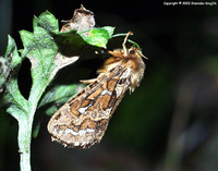 Pharmacis fusconebulosa - Map-winged Swift
