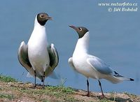 Larus ridibundus - Common Black-headed Gull