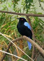 Irena puella - Asian Fairy Bluebird