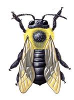 Image of: Xylocopa virginica (carpenter bee)