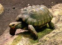 Chelonoidis carbonaria - Red-foot Tortoise