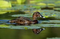 White eyed Duck (Hardhead)