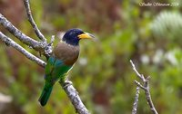 Great Barbet - Megalaima virens