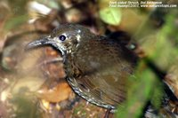 Dark-sided Thrush - Zoothera marginata