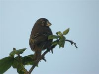 Thick-billed Seedeater - Serinus burtoni