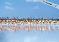 Greater Flamingo (Phoenicopterus ruber) photo
