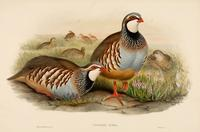 Richter after Wolf Red-legged Partridge (Caccabis Rubra)