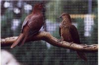 Lesser bar-tailed cuckoo dove Macropygia nigrirostris