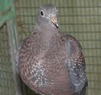 Olive Pigeon Columba arquatrix