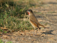 Siberian Rubythroat Scientific name - Luscinia calliope