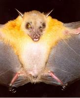 Image of: Cynopterus brachyotis (lesser short-nosed fruit bat)