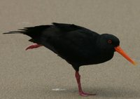 Variable Oystercatcher - Haematopus unicolor