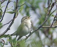 Arctic Warbler (Phylloscopus borealis) photo
