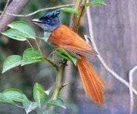 Asian Paradise-Flycatcher - Terpsiphone paradisi