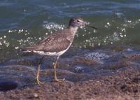 Solitary Sandpiper at MSP 2000 © Jim Gain