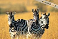 Zebras (Equus burchelli) photo