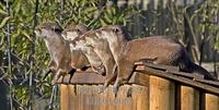 Group of Short Clawed Otters , Marwell Zoo , Hampshire , England stock photo