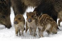 Wild Boars ( Sus scrofa ) stock photo