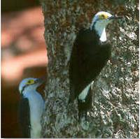 White woodpeckers