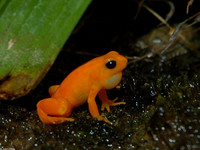 : Mantella aurantiaca; Golden Mantella