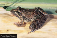 : Ptychadena oxyrhynchus; Sharp-nosed Ridged Frog