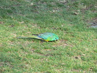 : Psephotus haematonolus; Red Rumped Parrot