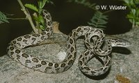 : Boiga multomaculata; Spotted Cat Snake