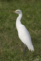 Mesophoyx intermedia   Intermediate Egret photo