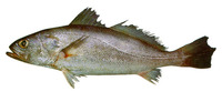 Cynoscion similis, Tonkin weakfish: fisheries