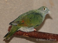 Ptilinopus melanospilus - Black-naped Fruit-Dove