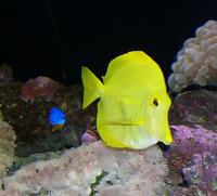 Image of: Zebrasoma flavescens (yellow tang)