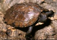 Image of: Pyxidea mouhotii (keeled box turtle)