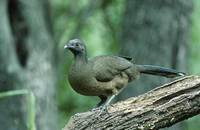 Plain Chachalaca (Ortalis vetula) photo