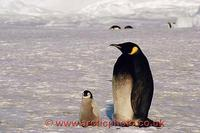 FT0169-00: Partial melanistic Emperor Penguin with its chick. Antarctica