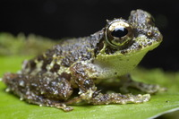 : Rhacophorus everetti; Everett's Tree Frog