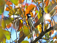 박새 [great tit]