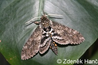 Manduca sexta - Carolina Sphinx