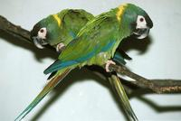 Primolius auricollis - Yellow-collared Macaw