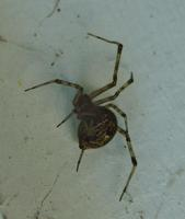 Image of: Achaearanea tepidariorum (house spider)